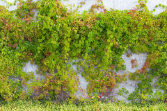 Ivy leaves on wall background Royalty Free Stock Photo