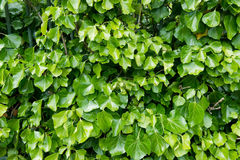 Ivy leaves wall Stock Images