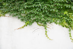 Ivy leaves  on wall Royalty Free Stock Image