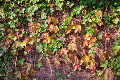 Ivy leaves on wall Royalty Free Stock Photography