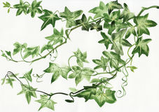Ivy leaves. Watercolor painting of green ivy branches and leaves  on white Stock Photography