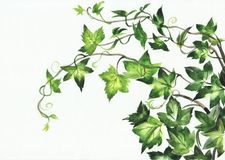 Ivy leaves. Watercolor painting of young ivy branches isolated on white Royalty Free Stock Photography