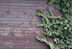 Ivy Leavs Wooden Wall image libre de droits
