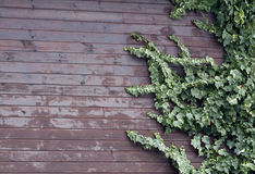 Ivy Leavs Wooden Wall. Ivy leaves on a wooden wall Royalty Free Stock Image