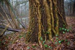 Ivy lianas Royalty Free Stock Photo