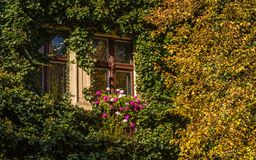 Ivy and lime tree with a window. On a autumn day stock photo