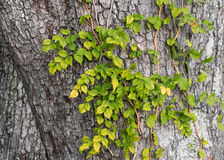 Ivy On Live Oak Lizenzfreies Stockbild