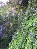 Vines cling fast to the sheer rock cliff of Filbert and Greenwich Streets, 2. Ivy and low bush are able to cling to sheer rock cliff sides. Although dangerous Royalty Free Stock Photo