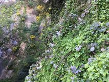 Vines cling fast to the sheer rock cliff of Filbert and Greenwich Streets, 1. Ivy and low bush are able to cling to sheer rock cliff sides. Although dangerous Royalty Free Stock Images