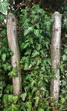 Ivy lush leaves climbing on wooden grunge fence Royalty Free Stock Images