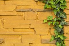 Ivy growing on a yellow fence. Stock Image
