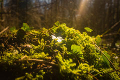 Ivy and moss covering forest floor Stock Photography
