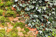 Ivy and moss. Stock Photos