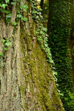 Ivy and moss on tree trunk Royalty Free Stock Photos