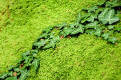 Ivy on mossy stone Stock Images