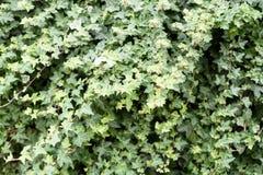 Ivy Nature Background selvaggia fotografia stock libera da diritti