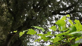 Ivy with an oak tree background. Ivy grows on a fence beneath an old oak tree stock footage