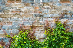 Ivy with old city wall Stock Images