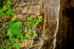 Ivy on the old oak stock photography