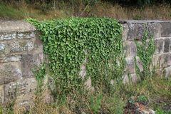 Ivy on old stone wall. Vegitation Royalty Free Stock Image