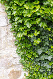 Ivy on and old wall Stock Photos