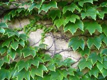 Ivy on the old wall Royalty Free Stock Images