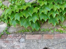 Ivy on the old wall Royalty Free Stock Image