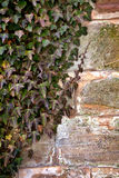 Ivy and old wall Stock Images