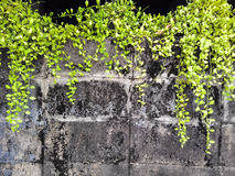Ivy on old wall. Beautiful background Royalty Free Stock Photography