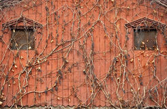 Ivy on old wooden house Stock Image