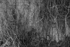 Free Ivy On A Brick Wall Black And White Stock Image - 71642791