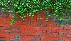 Ivy On The Old Brick Wall Royalty Free Stock Photography