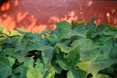 Ivy orange wall royalty free stock images