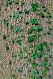 Ivy ordinary or ivy climbing (lat. Hedera helix) to the trunk of the tree Stock Photo