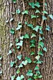 Ivy ordinary or ivy climbing (lat. Hedera helix) to the trunk of the tree Royalty Free Stock Photography