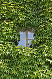 Ivy outside a window. A window surrounded by an ivy Royalty Free Stock Images