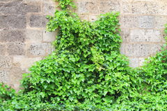Ivy over stone wall Royalty Free Stock Image