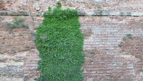 Ivy over the wall Stock Image