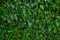 Ivy over the wall. Lush and green adult ivy is growing over a whole wall, good as background texture Royalty Free Stock Photos