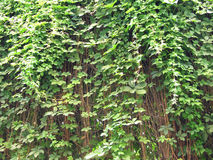 Ivy palt as natural background Royalty Free Stock Photos