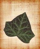 ivy papirus Obraz Royalty Free