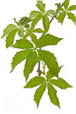 Ivy (Parthenocissus tricuspidata) in spring Stock Image