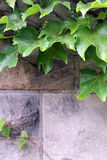 Ivy on a pathway royalty free stock photo