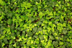 Ivy pattern Royalty Free Stock Photo