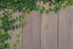 Ivy on a piece of old wood. Royalty Free Stock Photos