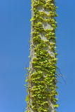Ivy on pillar Royalty Free Stock Image