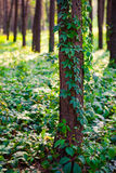 Ivy on a pine tree Royalty Free Stock Photography