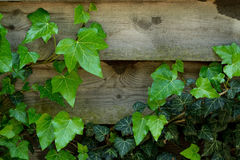 Ivy on the planks. Ivy on the black in horizontal orientation Stock Photography