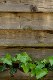 Ivy on the planks. In vertical orientation Stock Image