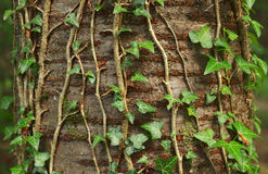Ivy plant. A ivy plant on the wild cherry tree in a forest Royalty Free Stock Photos